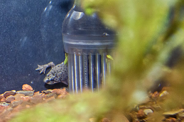 African dwarf frog in an aquarium hiding behind the filter intake.