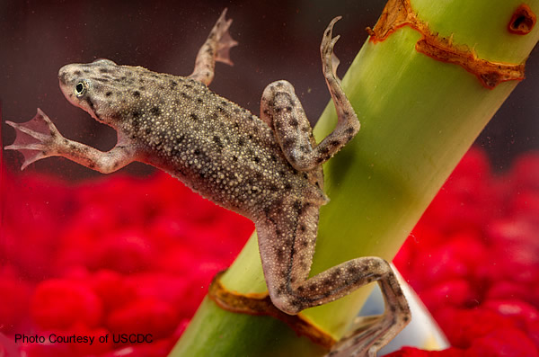 Health And Safety For African Dwarf Frog Keepers