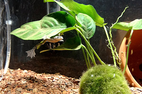 African dwarf frog hiding under the leaf of an Anubias nana plant in an aquarium