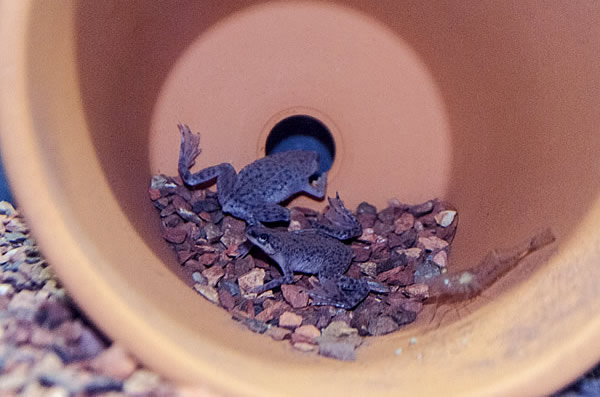 Two African dwarf frogs hiding in an unpainted clay flower pot with a bit of gravel in it at the bottom of an aquarium